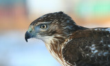 Falconry...Red-Tailed Hawk