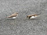 Birds of Washington Gallery 6:  Horned Lark  (320) to Warblers (400)