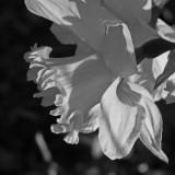 Morning Daffodil
