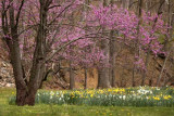Canopied Daffodils