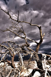 Death Valley Dunes Mesquite Tree HDR