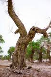 Populus euphratica Olivier �J��