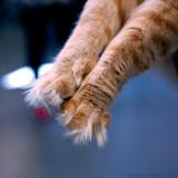 Välpälsad Sibirisk katt