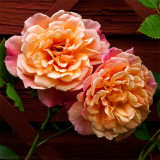 Kordes´ Rose Aloha