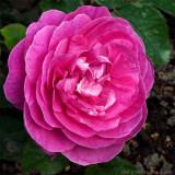 England´s Rose