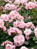 Astrid Lindgren rose in full bloom