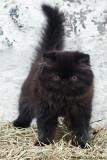 Embla, black persian