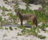 IMG_1221 coyote.jpg