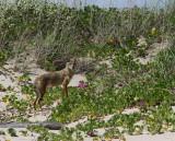IMG_1226 coyote.jpg
