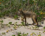 IMG_1229 coyote.jpg