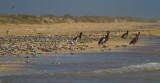 IMG_1318 terns pelicans.jpg