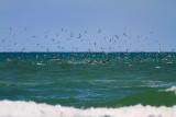 IMG_1326 terns pelicans.jpg