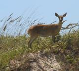 IMG_1333 deer on dunes.jpg
