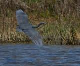 IMG_7958little blue heron.jpg