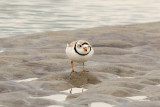 Piping Plover 3-23-11