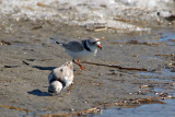 Piping Plovers feeding near ice