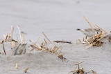 Piping Plover making nest scrape