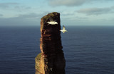Northern Fulmar and Old Man of Hoy