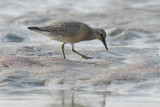 juvenile Red Knot
