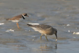 juvenile Red Knot and Semipalmated Plover