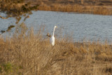 Saw one Great Egret at first