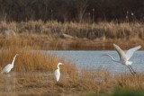 Great Egret joining others up the cove