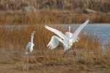 Great Egrets jockeying for position