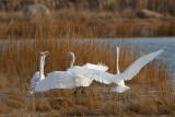 4 Great Egrets