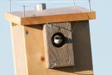 tree swallow in nest box