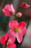 Hoa Ðào