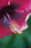 Madeline Hibiscus