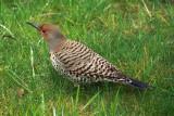 Northern Flicker   Colaptes auratus