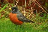 Robin         Turdus migratorius