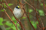 Gold-crowned Sparrow   Zonotrichia atricapilla