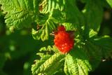 Salmonberry Rubus spectabilis