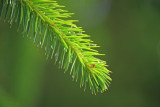 Sitka Spruce Picea sitchensis
