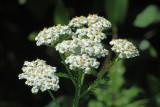 White Yarrow Achillea lanulosa
