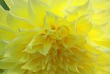 Dahlia closeup and personal