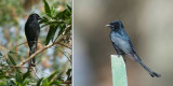 Dicruridae - drongos (family): 2 species