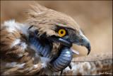 short_toed_snake_eagle_