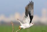 blackwinged_kite_
