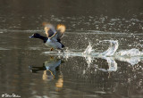 Takeoff (Ring Necked Duck)