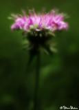 Wild Bergamont
