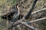 Phalacrocorax africanus