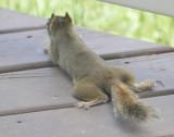 Red Squirrel from Behind _DSC8280.jpg