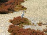 Garça-branca-pequena // Little Egret (Egretta garzetta subsp. garzetta)