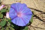 Bons-dias ou Campainhas (Ipomoea acuminata) // Blue Dawn Flower