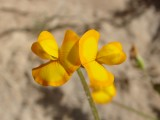 Cornichão-esponjoso (Scorpiurus vermiculatus)