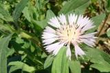 Cardinho-das-almorreimas (Centaurea pullata)