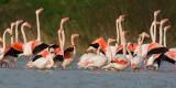 Fenicottero rosa( Greater Flamingo )